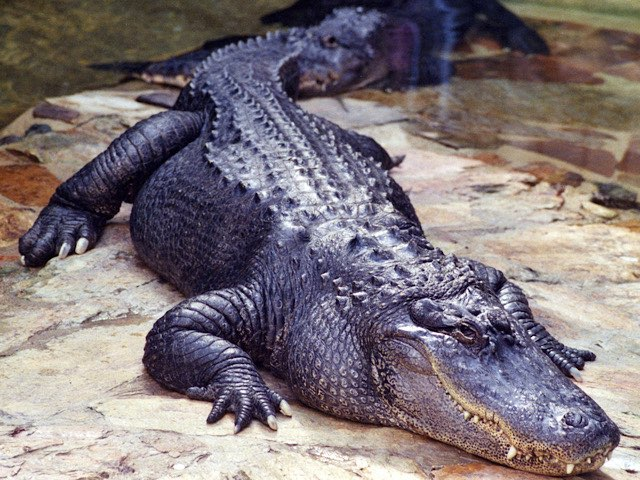 crocodile-leather-charm-12