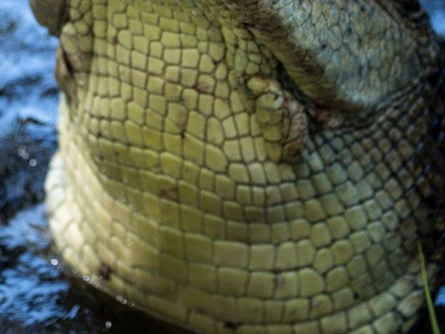 crocodile-leather-charm-16